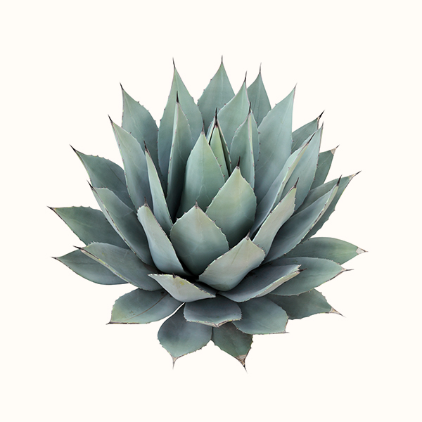 agave ecomil