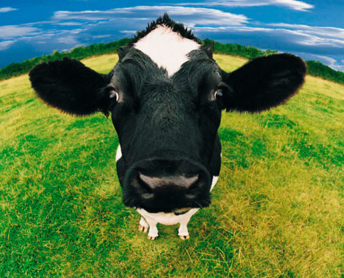 Cowspiracy, animal agriculture, blog Ecomil, go vegan